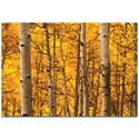 Landscape Photography 'Aspen Gold' - Autumn Nature Art on Metal or Plexiglass