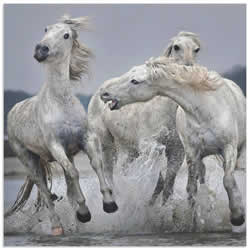 White Horse on Water by Paul Keates - Horse Art on Metal or Acrylic
