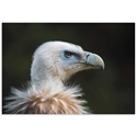 Fashionable Vulture by Sebastian Graf - Vulture Artwork on Metal or Acrylic - Alternate View 2